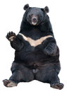 Asiatic black bear sitting Stock Images