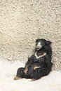 Asiatic black bear sitting on the ground summer afternoon Royalty Free Stock Image