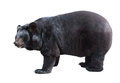 Asiatic black bear standing Royalty Free Stock Photos