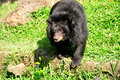 Asiatic black bear an ursus thibetanus standing in the sunlight in its enclosure at the ho chi minh city zoo in saigon vietnam Stock Photo