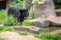 Asiatic black bear in zoo Royalty Free Stock Photo
