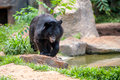 Asiatic black bear in zoo Stock Photos