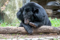 Asiatic black bear in zoo Royalty Free Stock Photography