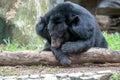 Asiatic black bear in zoo Stock Image
