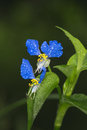 Asiatic dayflower in the spring Stock Photos
