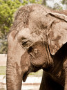 An asiatic elephant portrait in a zoo looking for grass Stock Photography