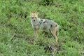 Asiatic jackal scientific name is canis aureus common slender build at jim corbett national park ramnagar uttarakhand india Royalty Free Stock Image