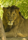 Asiatic Lion Closeup Portrait Royalty Free Stock Photo