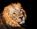 The asiatic lion closeup portrait of an Royalty Free Stock Images