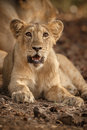 Asiatic lion cub in gir national park and wildlife sanctuary Royalty Free Stock Photo