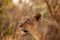 Asiatic lion female is one of the seven sub species of lions on this planet its scientific name is panthera leo persica gir Stock Image