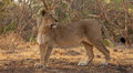 Asiatic lion female is one of the seven sub species of lions on this planet its scientific name is panthera leo persica gir Stock Photography