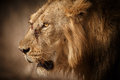 Asiatic lion male in gir national park and wildlife sanctuary Stock Photos