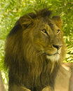 Asiatic lion panthera leo persica male closeup once found in most of its range but now it is only found in wild at gir area of Royalty Free Stock Images