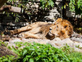 Asiatic lion sleeping outdoors in summer day Stock Image