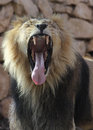 Asiatic Lion yawning Royalty Free Stock Photos