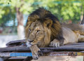 Asiatic lion in a zoo in india Royalty Free Stock Images