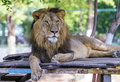 Asiatic lion in a zoo in india Royalty Free Stock Photos