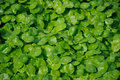 Asiatic penny wort pennywort growing in water at houtan park in shanghai china on a sunny day Royalty Free Stock Images