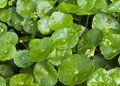 Asiatic Pennywort Stock Photography