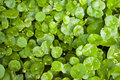Asiatic Pennywort Stock Photos