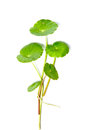 Asiatic pennywort centella asiatica linn urban Stock Photography