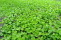 Asiatic seedlings Stock Image