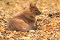Asiatic wild dog the adult in the fallen leaves Stock Photography
