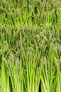 Asparagus bunches Royalty Free Stock Photo