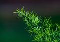 Asparagus fern Royalty Free Stock Photo