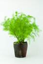 Asparagus  Fern Foxtail Fern  in Tea Cup Royalty Free Stock Photo