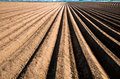 Asparagus line sand banks of an agriculture field Stock Image