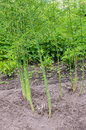 Asparagus plants in front of other in vegetable garden Stock Images