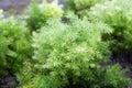 Asparagus racemosus Willd or Shatavari