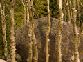 Aspen and boulders Stock Photography