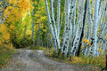 Aspen country road winding through the yellow aspens in the fall Royalty Free Stock Images