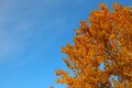 Aspen crown in golden autumn foliage on background of blue sky Royalty Free Stock Photo
