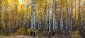 Aspen forest a panoramic view of a beautiful in autumn Royalty Free Stock Photography