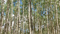 Aspen forest rocky mountains colorado usa Royalty Free Stock Photo