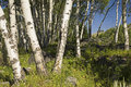 Aspen grove Royalty Free Stock Image