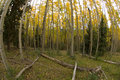 Aspen Grove Stock Photography