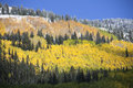 Aspen grove after snow mountain in autumn Stock Image