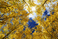 Aspen grove view into an during fall golden colored leaves looking up to the sky Royalty Free Stock Photography