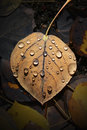 Aspen Leaf with Water Drops Royalty Free Stock Photo