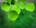 Aspen leaves close up of on smooth green background Stock Photos