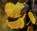 Aspen Leaves Royalty Free Stock Photo