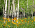 Aspen Meadow and Wildflowers Royalty Free Stock Photos