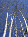 Aspen Stems Royalty Free Stock Images