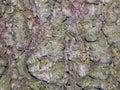 Aspen tree bark Royalty Free Stock Photo