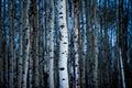 Aspen Tree bark in winter